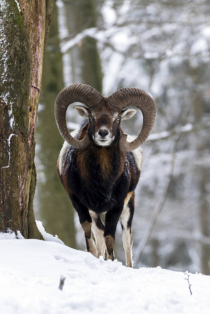 European mouflon (Ovis orientalis musimon), Aries stands in the snow, Vulkaneifel, Rhineland-Palatinate, Germany, Europe