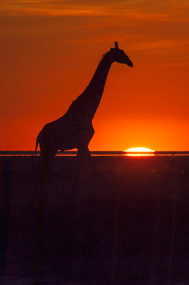 Giraffe (Giraffa camelopardalis) at sunset, backlit, Namutoni, Etosha National Park, Namibia, Africa