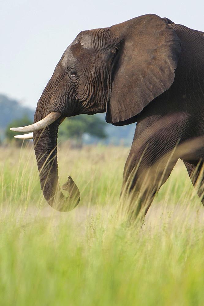 African Elephant (Loxodonta africana), Chobe Waterfront, Chobe National Park, Botswana, Africa