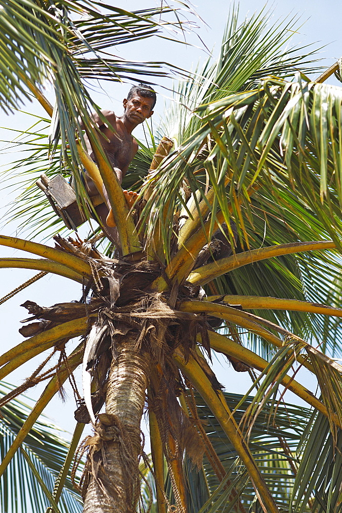 Toddy Tapper on coconut tree collecting palm juice, Wadduwa, Western Province, Ceylon, Sri Lanka, Asia