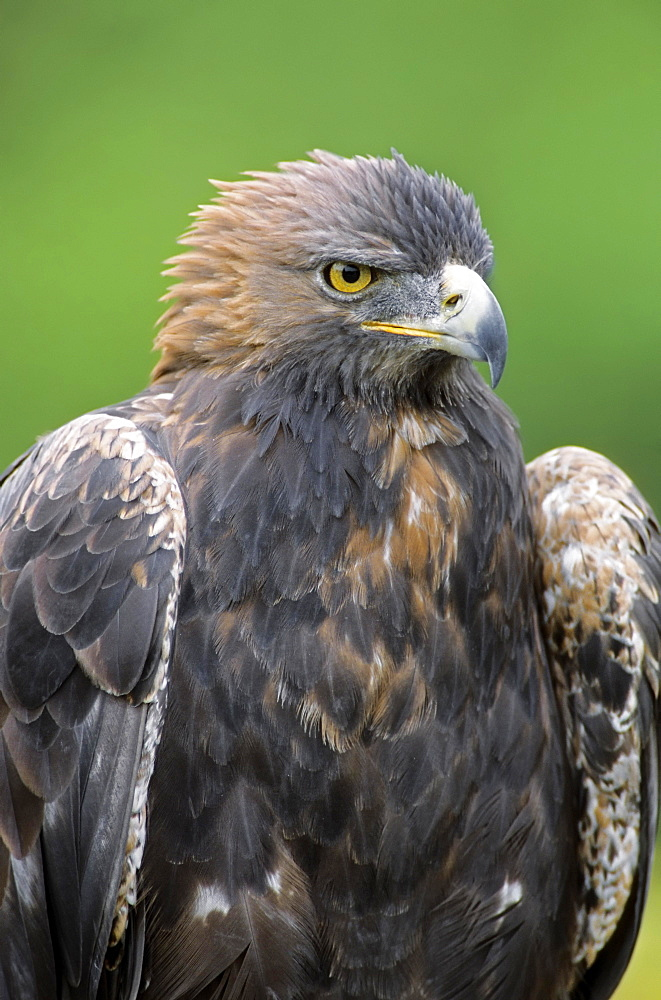 Golden Eagle (Aquila chrysaetos), captive, Germany, Europe
