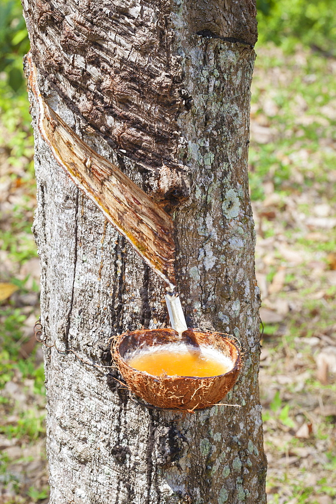 Latex sap dripping out of a cut tree in a rubber plantation, Thailand, Asia