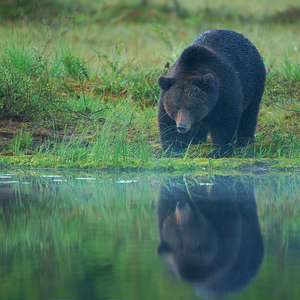 Brown Bear (Ursus arctos), Suomussalmi, Kainuu, Finland, Europe