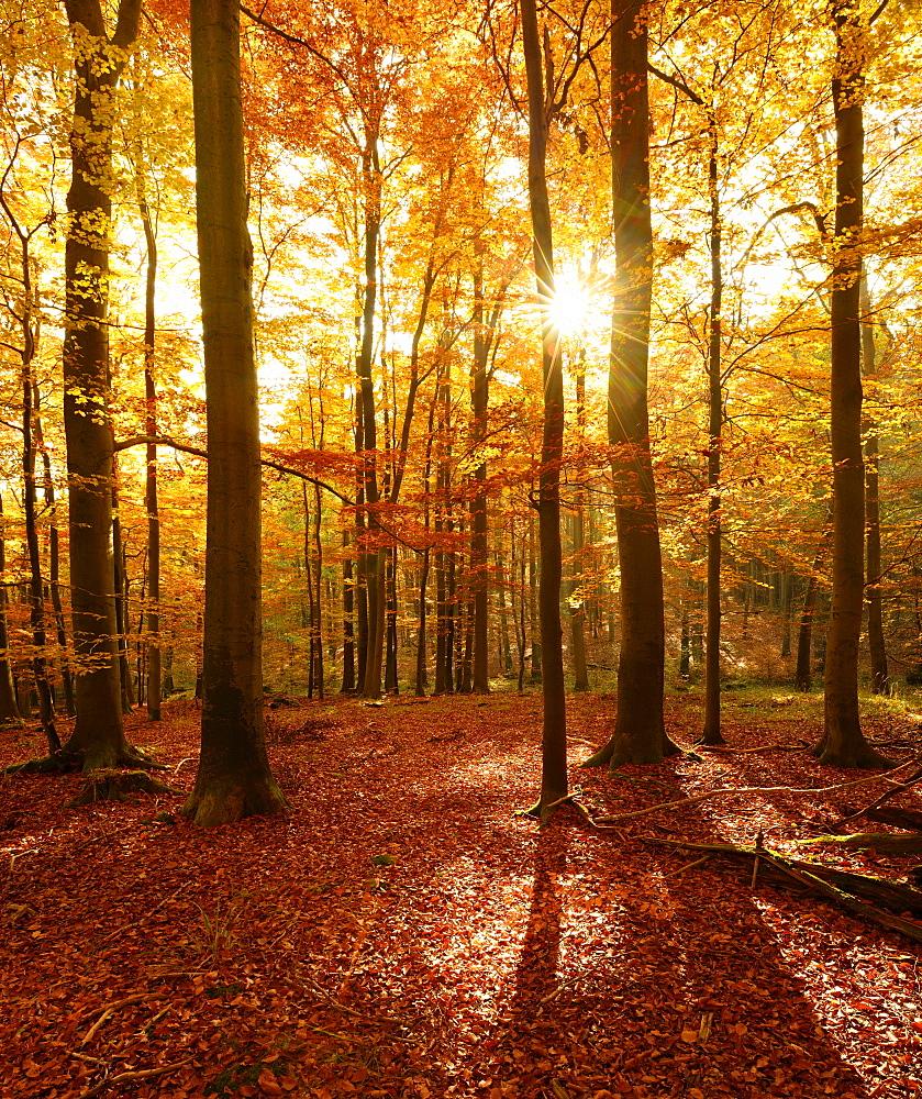 Beech (Fagus sp.) forest in autumn, sun rays shining through trees, Harz, Saxony-Anhalt, Germany, Europe
