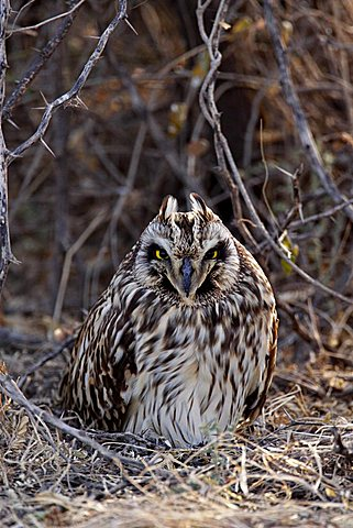 Short-eared Owl (Asio flammeus) roosting in the Rann of Kutch, Gujarat, India, Asia