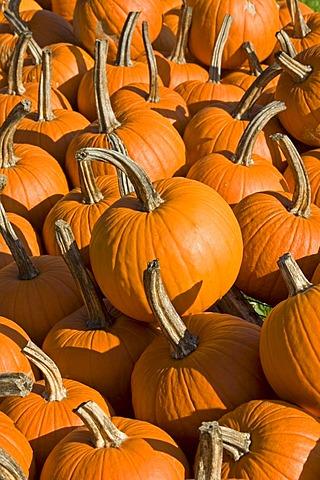 Pumpkins for sale, farm stand, Eden, Vermont, USA