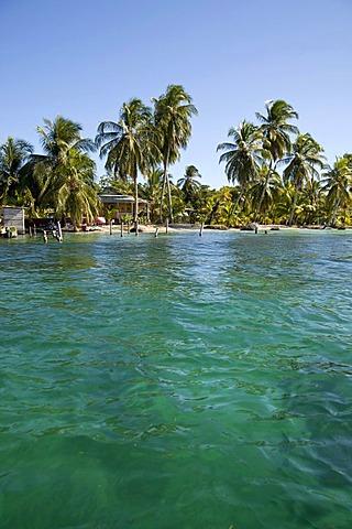 Coconut palms (Cocos nucifera) on the shores of the Caribbean island of Bocas del Toro, Panama, Central America