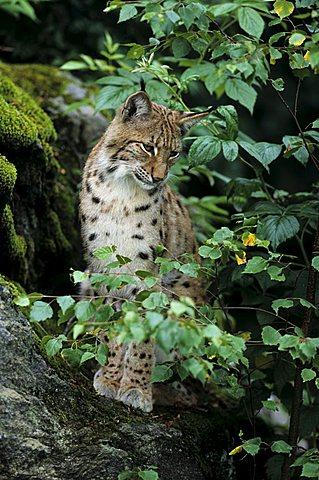Eurasian Lynx (Lynx lynx) sitting on a rock in a forest