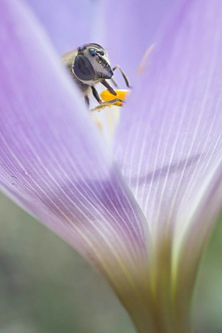 Autumn crocus, Meadow saffron, Naked lady (Colchicum speciosum) with hoverfly, Haren, Emsland region, Lower Saxony, Germany, Europe