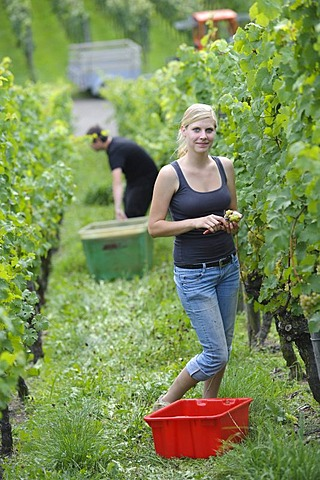 Young woman harvesting grapes, early vintage, Riesling grapes, Uhlbach, Baden-Wuerttemberg, Germany, Europe