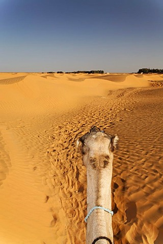 Head of a Dromedary (Camelus dromedarius) in the Sahara near Ksar Ghilane, Tunisia, Maghreb, North Africa, Africa