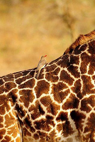 Red-billed Oxpecker (Buphagus erythrorhynchus) on the back of a Masai Giraffe (Giraffa camelopardalis tippelskirchi), Serengeti National Park, Tanzania, Africa
