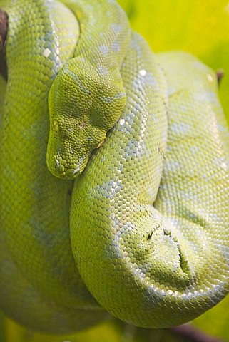 Python, Morelia viridis