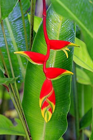 Heliconia (Heliconia psittacorum), flower, Kota Kinabalu, Sabah, Malaysia, Borneo, Southeast Asia