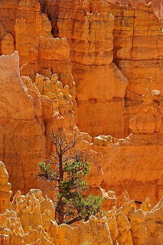 Rock formations and hoodoos, Douglas Fir (Pseudotsuga), Sunrise Point, Bryce Canyon National Park, Utah, United States of America, USA