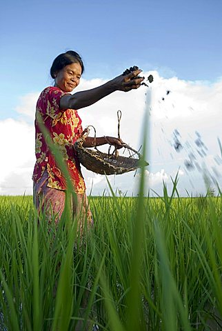 Farmers woman putting natural fertilizer on a rice field, Takeo Province, Cambodia