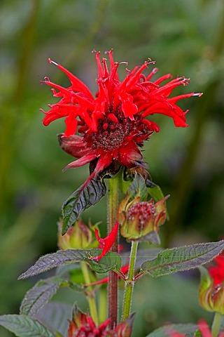 Bergamot, scarlet beebalm, scarlet monarda, Oswego tea, or crimson beebalm (Monarda didyma), flowering