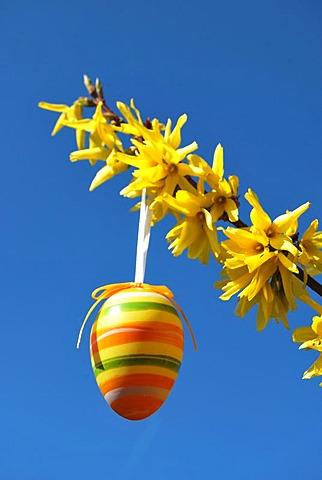 Easter egg hanging from a forsythia (Forsythia)