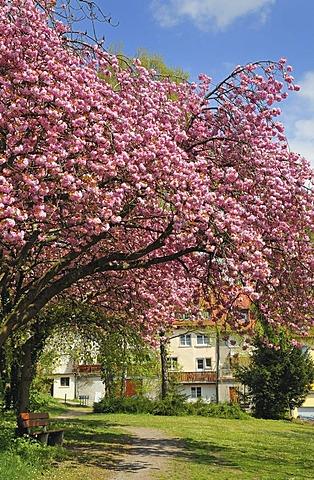 Japanese Cherry, Hill Cherry, Oriental Cherry or East Asian Cherry (Prunus serrulata), blossoming trees, Meersburg on Lake Constance, Baden-Wuerttemberg, Germany, Europe