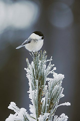 Willow Tit (Parus montanus), adult on frost covered Swiss Stone Pine (Pinus cembra) at minus 15 degrees Celsius, St. Moritz, Grisson, Alps, Switzerland, Europe - 832-8248