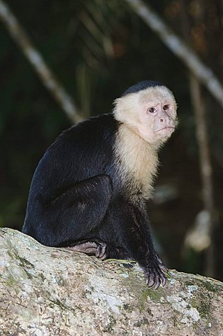 White-faced Capuchin (Cebus capucinus), adult sitting on palm tree, Manuel Antonio National Park, Costa Rica, Central America