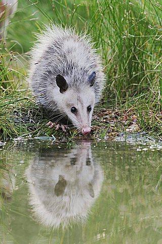 Virginia Opossum (Didelphis virginiana), young drinking from wetland lake, Refugio, Texas, USA
