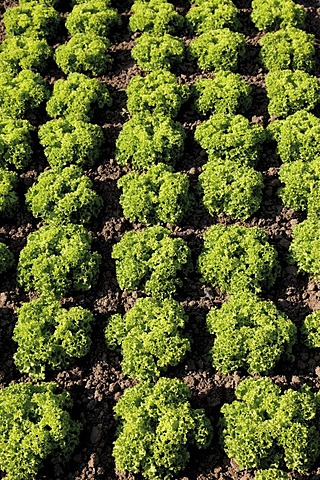 Lollo Bionda lettuce patch, theme gardens, National Garden Festival, BUGA 2011, Koblenz, Rhineland-Palatinate, Germany, Europe