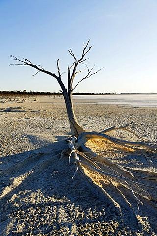 Dead tree at the Lake Ninan salt lake, Victoria Plains, Western Australia, Australia