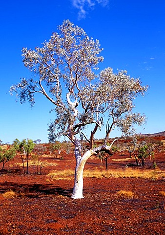 Eucalyptus Gum Tree (Eucalyptus), Karijini National Park, Pilbara, Western Australia, Australia