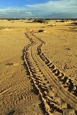 Turtle tracks on coastal sand, Cape Range National Park, Western Australia