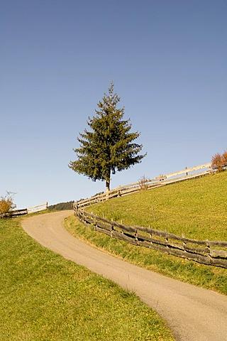 Road and fir tree, Santa Maddalena, Val di Funes, Dolomites, Bolzano province, Trentino-Alto Adige, Italy, Europe