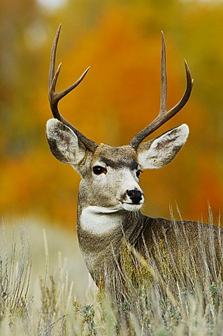 Mule Deer, Black-tailed Deer (Odocoileus hemionus), buck, Grand Teton National Park, Wyoming, USA