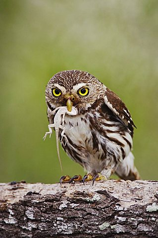 Ferruginous Pygmy-Owl (Glaucidium brasilianum), adult with lizard prey, Willacy County, Rio Grande Valley, South Texas, USA