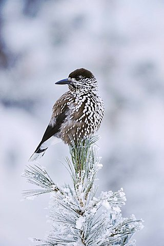 Spotted Nutcracker (Nucifraga caryocatactes), adult perched on frost covered Swiss Stone Pine (Pinus cembra), St. Moritz, Switzerland, Europe - 832-8941