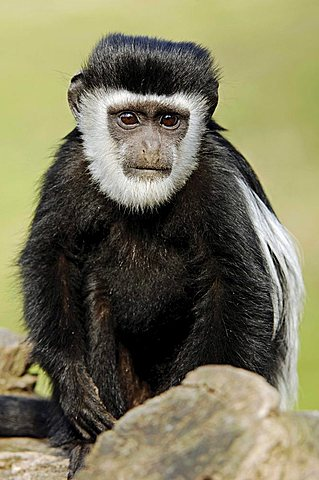 Mantled Guereza, Eastern Black-and-white Colobus (Colobus guereza), young