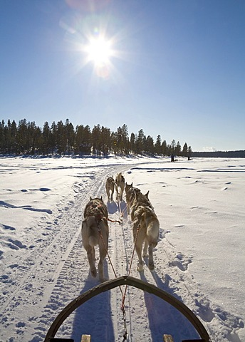 Sled dog tour with Siberian Huskies in Kiruna, Lappland, North Sweden, Sweden