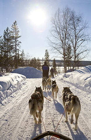 Sled dog tour with Siberian Huskies in Kiruna, Lappland, North Sweden, Sweden