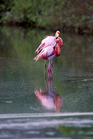 American Flamingo or Carribean Flamingo (Phoenicopterus ruber), Insel Floreana, Galapagos Inseln, Galapagos Islands, Ecuador, South America