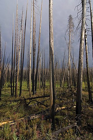 Charred, dead trees after a forest fire in Yellowstone National Park, Wyoming, USA