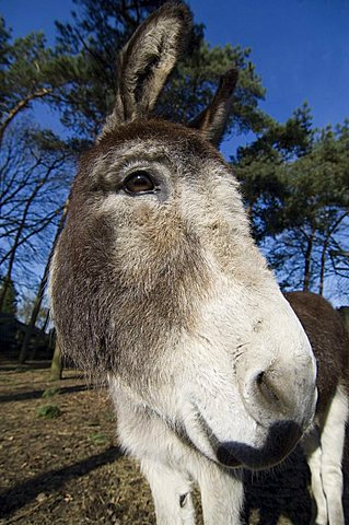 Portrait of a miniature donkey, Netherlands, Europe