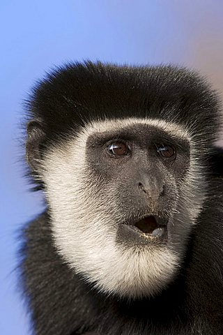Mantled Guereza or Eastern Black-and-white Colobus Monkey (Colobus guereza)