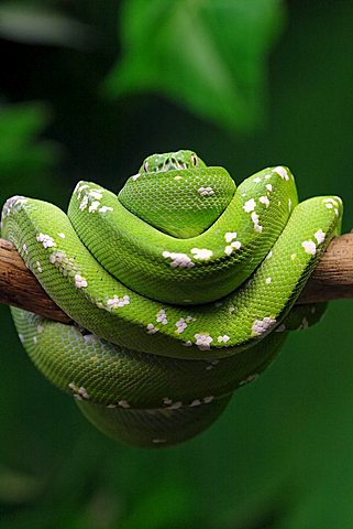 Green Tree Pythons (Morelia viridis)