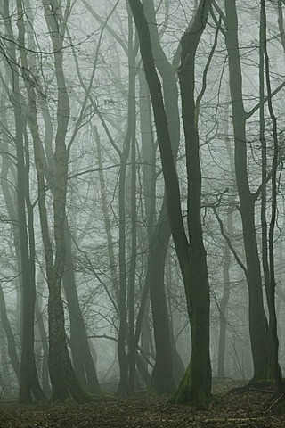 Fog in the Seilerwald forest, Iserlohn, Sauerland area, North Rhine-Westphalia, Germany, Europe