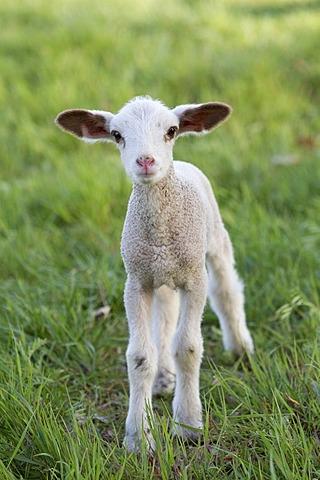 Easter lamb, sheep (Ovis orientalis Aries)