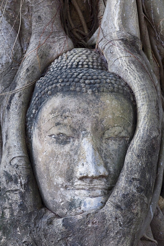 Buddha head in Wat Mahathat, Ayutthaya Historical Park. UNESCO World Heritage Site, Ayutthaya, Thailand, Southeast Asia, Asia