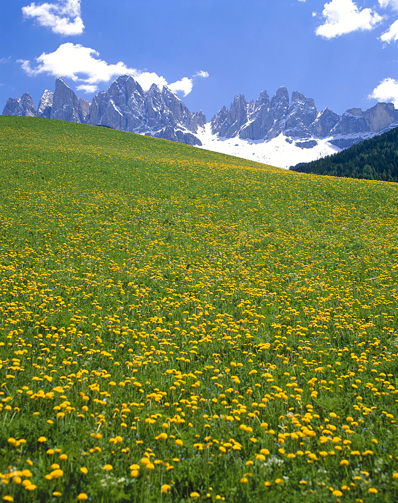 Dolomite Mountains (Dolomiti) and yellow wild flowers, Villnoss, Val di Funes, Trentino, Italy, Europe