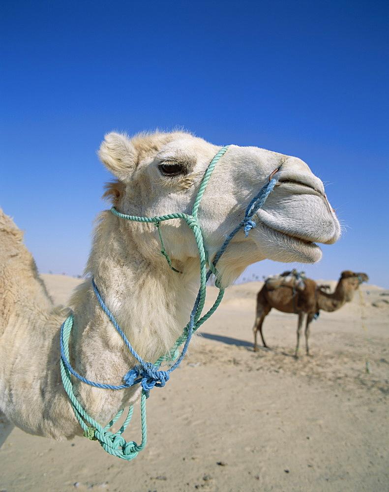 Camels, Douz, Tunisia, North Africa, Africa