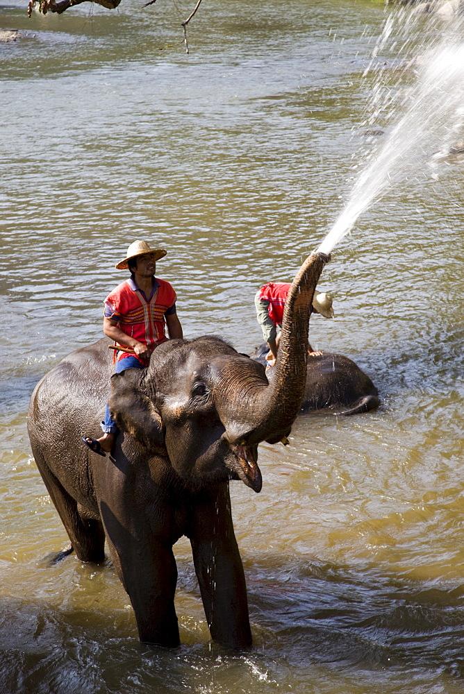Elephants bathing, Elephant Camp, Chiang Mai, Thailand, Southeast Asia, Asia