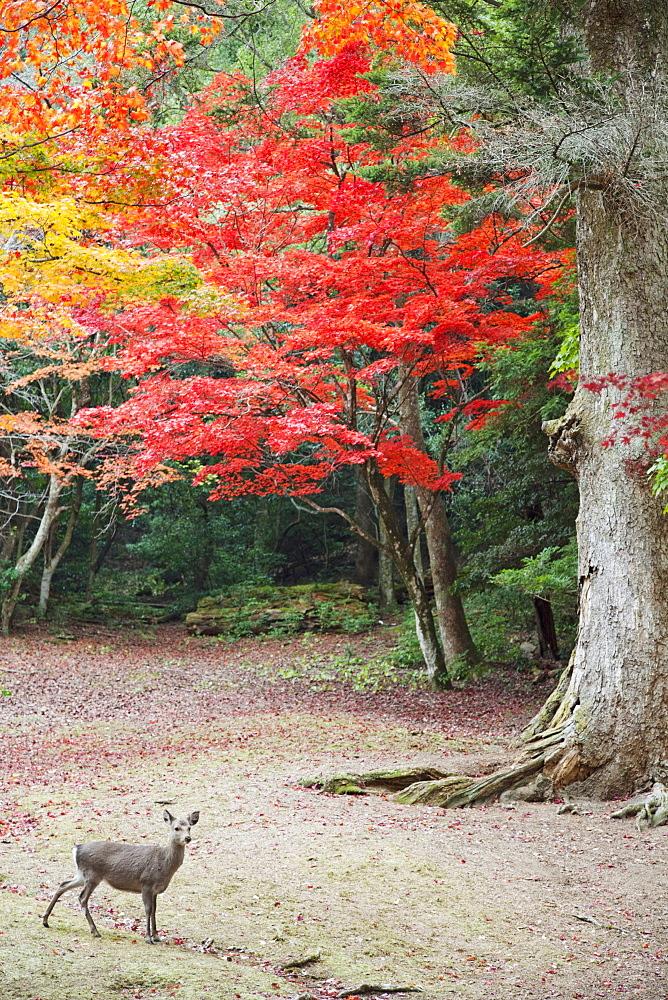 Deer and autumn leaves, Omoto Park, Miyajima Island, Japan, Asia
