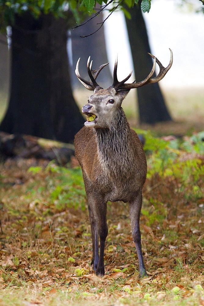 Red deer (Cervus elaphus) stag portrait, Richmond Park, Surrey, England, United Kingdom, Europe - 836-21